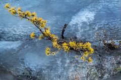 Icebound (Fjllkantsbon) Tags: ice norway pine norge is waterfall tall lichens vattenfall lavar hitra trondelag trndelag hviksfjellet