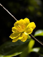 (GiaHuy (c)) Tags: flower macro yellow newyear vietnam mai marco tet lunar
