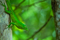 lizard (mak_9000) Tags: tree green eyes reptile lizard scales treebark specanimal
