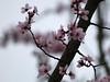 Prunus cerasifera 'Krauter's Vesuvius' Flowering Plum (CP68-73) Tags: prunus floweringplum prunuscerasifera krautersvesuvius