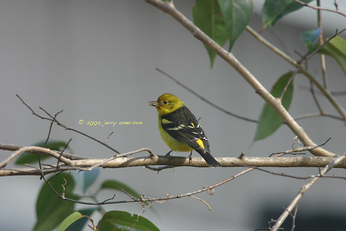 Western Tanager. GMNH 7151. Macon, Bibb County, 31 January 2005. Photo by Jerry Amerson