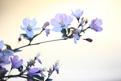 海棠Begonia flower-6 (likerain2011) Tags: china flowers flower color macro nature horizontal closeup canon spring blossom outdoor begonia nanjing masterphotos artisticflowers artonflickr 5d2 mindigtopponalwaysonto