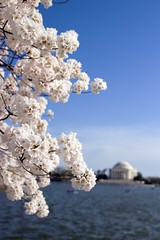 Blooming (Daniel N. Smith) Tags: flowers nature cherry dc washington spring memorial blossoms basin bloom cherryblossoms jefferson tidal blooming