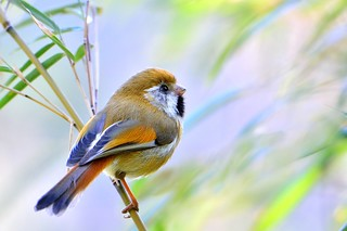 黃羽鸚嘴(Blyth's Parrotbill)