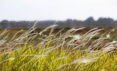 Field of Dreams (BethHarcek - Back on Track) Tags: nature field grass sunshine florida breeze