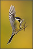 www.durmaplay.com_oyun_wallpaper_46903.jpg (http://www.durmaplay.com) Tags: autumn bird nature animal wings fallcolors wildlife vlucht flight natuur landing greattit beech parusmajor vogel ocre oker koolmees vleugels zangvogel hvhe1 hennievanheerden wwwdurmaplaycom