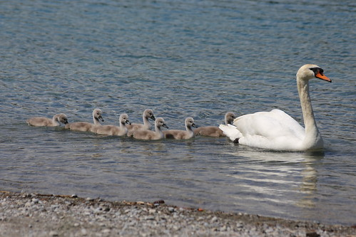 Swans with their mother