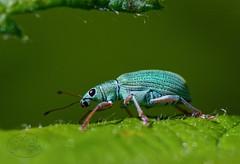 Green Nettle Weevil - Brenesselrüssler (MaiGoede) Tags: macro insects insekten käfer coleoptera curculionidae rüsselkäfer phyllobiuspomaceus grünrüssler phyllobiusurticae greennettleweevil nesselblattrüssler ruby10 ruby15 brennnesselgrünrüssler