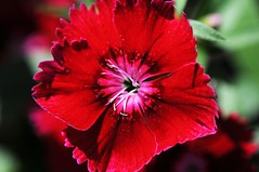 DSC_1646 (PeaTJay) Tags: flowers plants macro gardens reading micro closeups berkshire lowerearley nikond300s