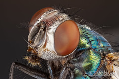 Green bottle fly (Karlgoro1) Tags: color macro green eye animal closeup canon bug insect eos fly photo bottle eyes focus head stack 7d f28 stacker mpe 65mm greatphotographers zerene specinsect macrolife