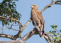 Tawny Eagle (tickspics ) Tags: africa aquilarapax kenya maranorth maranorthconservancy tawnyeagle