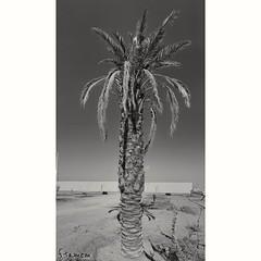 #نخلة #نبات #طبيعه #احادي (فيصل تميم) Tags: نخلة نبات طبيعه احادي