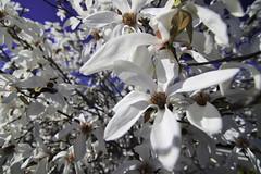 Early bloom (trifeman) Tags: 2017 winter march california canon 7d canon7dmarkii roseville placer granitebay tokina tokina1116mm tokinaatx116prodxii1116mmf28