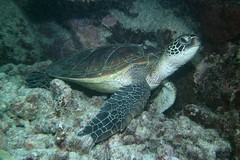shelter from the swell (BarryFackler) Tags: ocean life sea nature water ecology animal coral fauna island hawaii polynesia bay marine underwater pacific turtle reptile being dive scuba diving sealife pacificocean tropical marinebiology diver honu bigisland aquatic reef creature seaturtle biology undersea kona cheloniamydas ecosystem coralreef marinelife vertebrate zoology seacreature greenseaturtle marineecology organism honaunau konacoast hawaiicounty southkona hawaiiisland 2013 hawaiiangreenseaturtle honaunaubay marineecosystem westhawaii marinereptile bigislanddiving sealifecamera barryfackler barronfackler cmydas