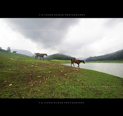 Some powerful dreams! (Vinod Kumar TG) Tags: horses dreams munnar d700 kundaladam vinodettanphotography