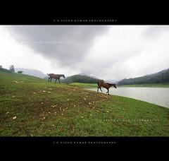 Some powerful dreams! (Vinod Kumar TG) Tags: horses dreams munnar d700 kundaladam vinodettanphotography