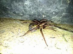 sneaky spider (maxcon2012) Tags: garden spider creepy longlegs largebody