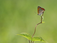 Daydreaming (akurashashin) Tags: canon butterfly eos wildlife perch greenbackground smallcopper 2452 52weeks