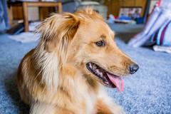 Honey 01 (jsgillard) Tags: dog dogs goldenretriever golden mutt mix collie border retriever honey bordercollie gypsy dingo carolinadingo