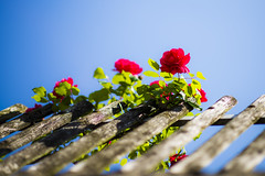 Sky rose (nils.rohwer) Tags: blue red rose fence nikon 85mm rosered d600 14g