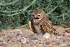 IMG_0506 Burrowing Owl Fledgling (lois manowitz) Tags: arizona birds raptors owls fledglings