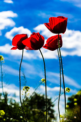 4 Red Stars (David Doua) Tags: blue shadow red sky cloud white color colour green yellow contrast colours wind vivid rape poppies rapeseed