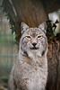 Eliot again (Cloudtail the Snow Leopard) Tags: zoo landau tier animal säugetier mammal katze cat luchs lynx eurasischer cloudtailthesnowleopard
