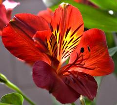 3362 (fpizarro) Tags: red flower minasgerais flor mg vermelho belohorizonte bh astromelia astromlia fpizarro alstromelia alstromlia