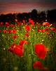 Poppies (Tobers) Tags: party england sports field photography photographer sony events parties surrey poppies a3 guildford rx1 takeaview andrewtobin landscapephotographeroftheyear tobinators