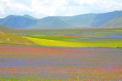 Un campo di colori - A colourful field (Ola55) Tags: flowers summer italy estate fiori umbria italians castellucciodinorcia mywinners aplusphoto piangrande parcodeimontisibillini ola55 100commentgroup