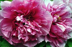 DSC_9217 (sakic75) Tags: flowers nikon70300mmvr