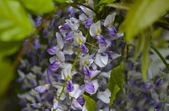 Wisteria (DavidMGraves) Tags: flowers wisteria