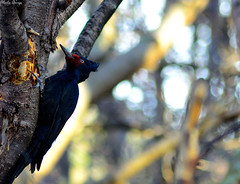 Magellanic Woodpecker Female (tinchgq) Tags: tierradelfuego ushuaia sigma70300f456dgmacro campephilusmagellanicus magellanicwoodpecker patagonianbirds nikond7000 carpinteromagallnico