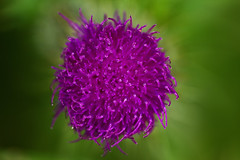 Macro Thistle (fearghal breathnach) Tags: flowers blur colour detail macro nature closeup contrast canon photography photo focus colours dof photos bokeh creative clarity 100mm wildflowers 100mmmacro beautyinnature ef100mm canonef100mmf28usmmacro fearghalbreathnach ef100mmf28usmmacro httpswwwfacebookcomfergphotos