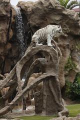 Linmao (Olaya Garcia) Tags: white blanco canon island eos tiger canarias lp tenerife canary tigris tigre islas whitetiger teneriffe loroparque panthera pantheratigris tigreblanco 1000d