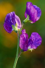 Summer Sweet Pea (LabradorEars) Tags: macro purple sweetpea lathyrus tamron90mm lathyrusodoratus