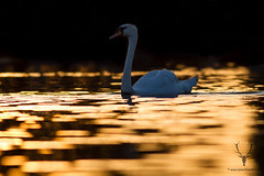 Silence is Golden (James Shooter) Tags: sunset england lake male bird water photography swan dusk wildlife northamptonshire waterbird ripples colourful muteswan cygnusolor ukwildlife jamesshooter