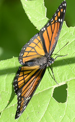 Viceroy (Limenitis archippus) (jwinfred) Tags: life wild macro nature mississippi lens nikon d insects delta swamp cypress nikkor preserve greenville viceroy f40 200mm limenitis archippus d7000