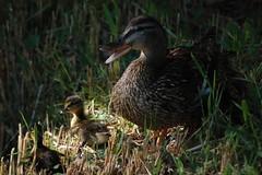 Mother and sons (Wanderer in Wonderland) Tags: nature children mother ducks enfants motherhood sons canards
