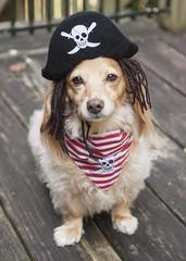 Pirate (Doxieone) Tags: wood dog english halloween hat skull miniature wooden costume gate cream dachshund deck pirate blonde bones bandana dressed dredlocks longhaired fixset