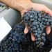 2013 Harvest Sugar Testing 0005