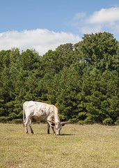 Longhorn (Doxieone) Tags: trees cow nc cattle cows northcarolina pasture longhorn steer
