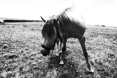 (vinzzzzzzzzzz) Tags: bw horse cheval ricoh azores acores grd grd3 grdiii