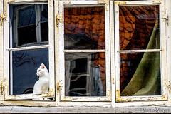am Fenster (Martin.Matyas) Tags: window animal animals cat canon fenster katze dänemark kopenhagen silja jürgen tanja 2013 canonefs1785isusm eos7d 0810092013