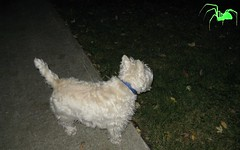 """10/12A ~ """"Under the moonlight - You see a sight that almost stops your heart"""" (ellenc995) Tags: riley westie westhighlandwhiteterrier 12monthsfordogs13 challenge halloween thriller pet100 coth coth5 challengeclub thegalaxy supershot abigfave"""