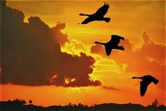 Sunset (Stella Blu) Tags: sky three flying geese silhouettes goose waterfowl wildgeese bigmomma nikkor18200 stellablu 15challengeswinner favescontestwinner thechallengefactory fotocompetition fotocompetitionbronze fotocompetitionsilver fotocompetitiongold nikond5000 herowinner ultraherowinner thepinnaclehof kanchenjungachallengewinner storybookwinner favescontestfavoriteson favescontesttopseed favescontestfavored tphofweek237