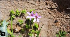 Flower  (MOsi Puase) Tags: flower photo mosi mostafa uncategorized  puase 500px askarnezhad