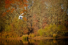 The omnipresent seagull (CapeCawder) Tags: autumn seagulls birds landscape seagull autumncolors nikond5100 ononeperfecteffects