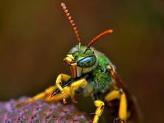 Green Metallic Bee, Macro (Pingyeh) Tags: macro nature animals closeup bug insect wildlife sony indiana nex