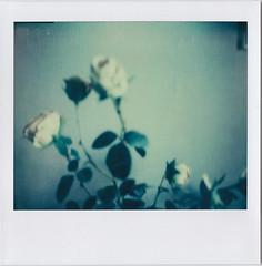 Roses # 1 (bruXella & bruXellius) Tags: flowers roses film rose analog polaroid pola timeless instantfilm procam polanoid instantmagic polagen impossibleproject pz680